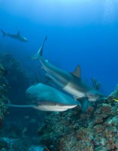 multiple-reef-sharks-on-reef